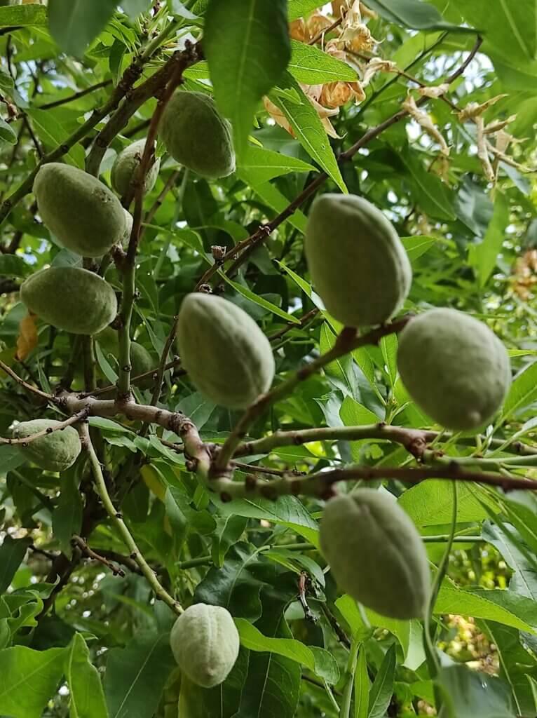 Organic Almonds -